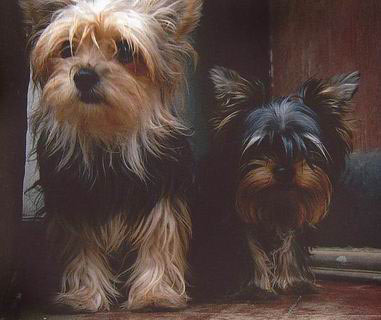 Dog Haircut Styles For Yorkies Scotts
